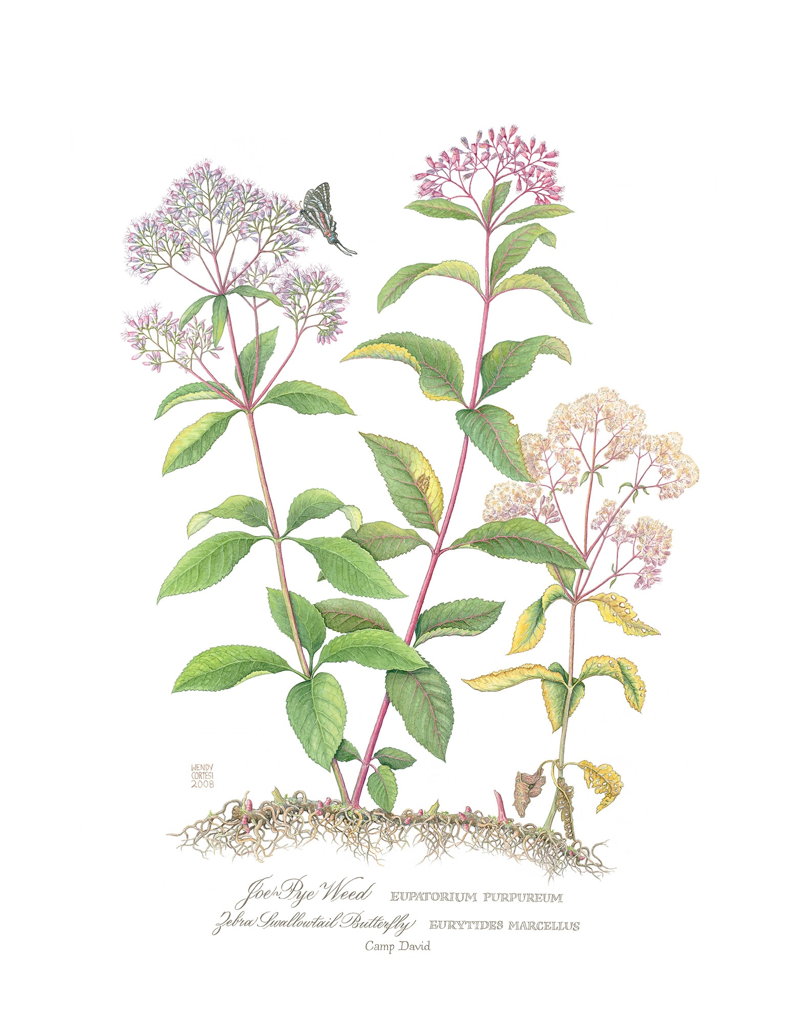 Wendy Cortesi's Joe Pye Weed