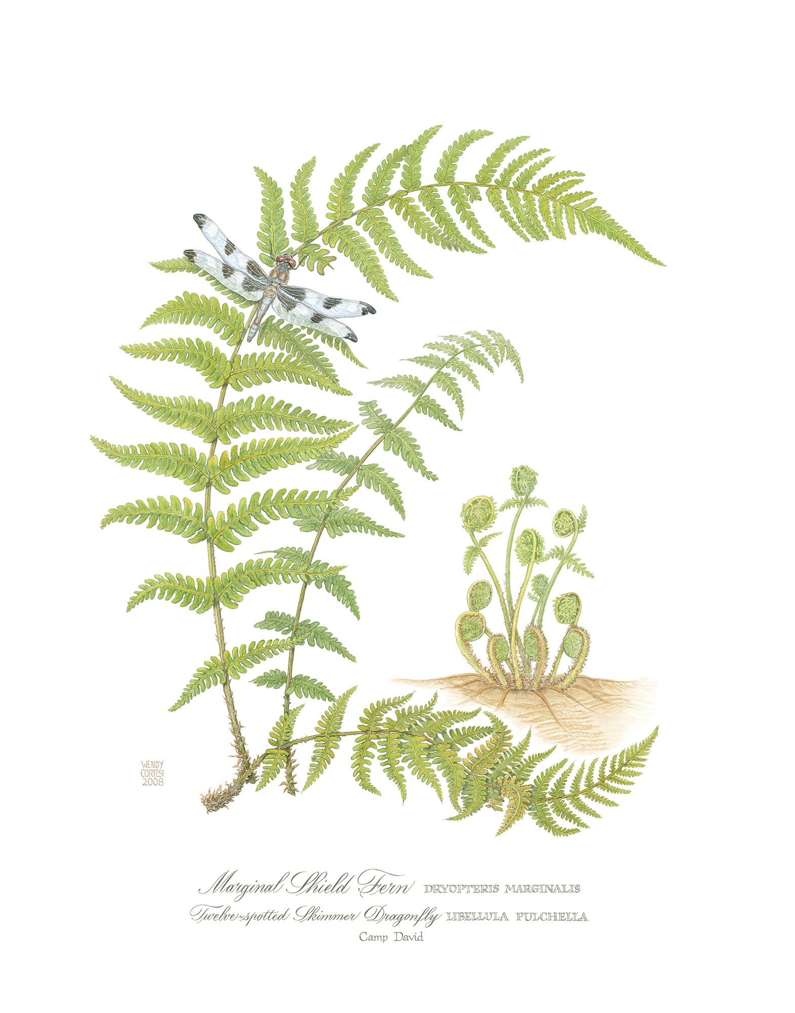 Wendy Cortesi's Marginal Shield Fern