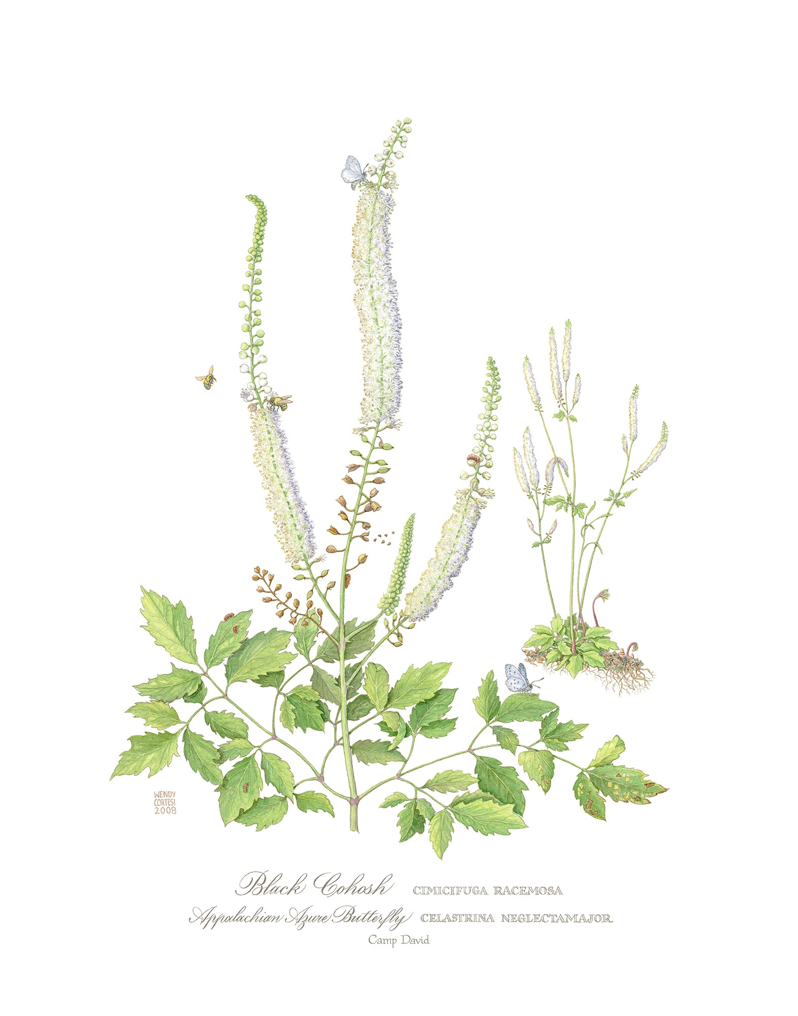 Wendy Cortesi's Black Cohosh